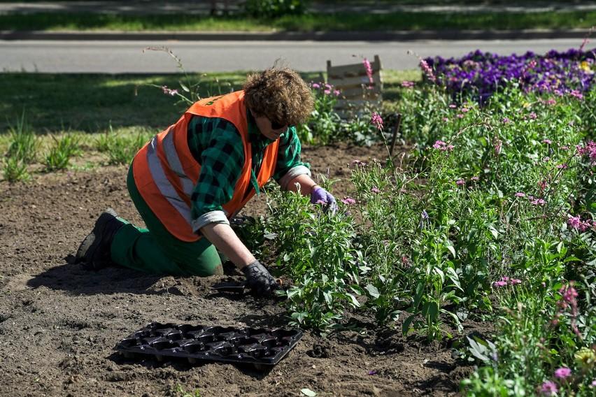 Pracownicy GZDiZ rozdali mieszkańcom 8 tys. sadzonek