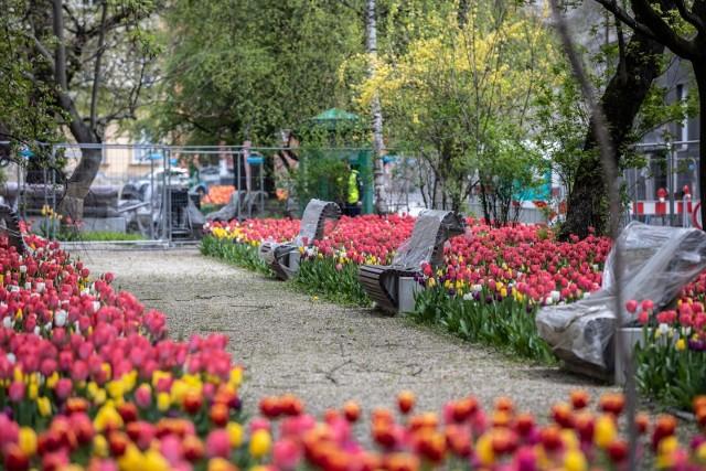 Przebudowa placu Biskupiego w Krakowie została przerwana. Od kilku miesięcy nie prowadzone są tam prace. Mieszkańcy mają już dość takiej sytuacji. Jedynym pocieszeniem są tulipany, które pięknie zakwitły w tym miejscu.