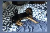 W Koszalinie zaginął pies. Internauta prosi o pomoc