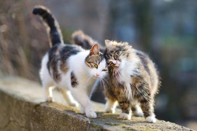 Zobacz, jakie rasy kotów są najbardziej uczuciowe.