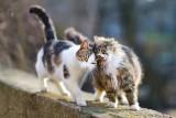 Te rasy kotów są najbardziej uczuciowe. To doskonali przyjaciele i codzienni towarzysze