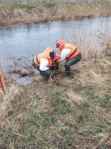 """15 martwych dzików w kanale koło Ząbrowa w gm. Stare Pole. Na miejscu pracują służby. """"Bardzo zaskoczyła nas ta liczba"""""""