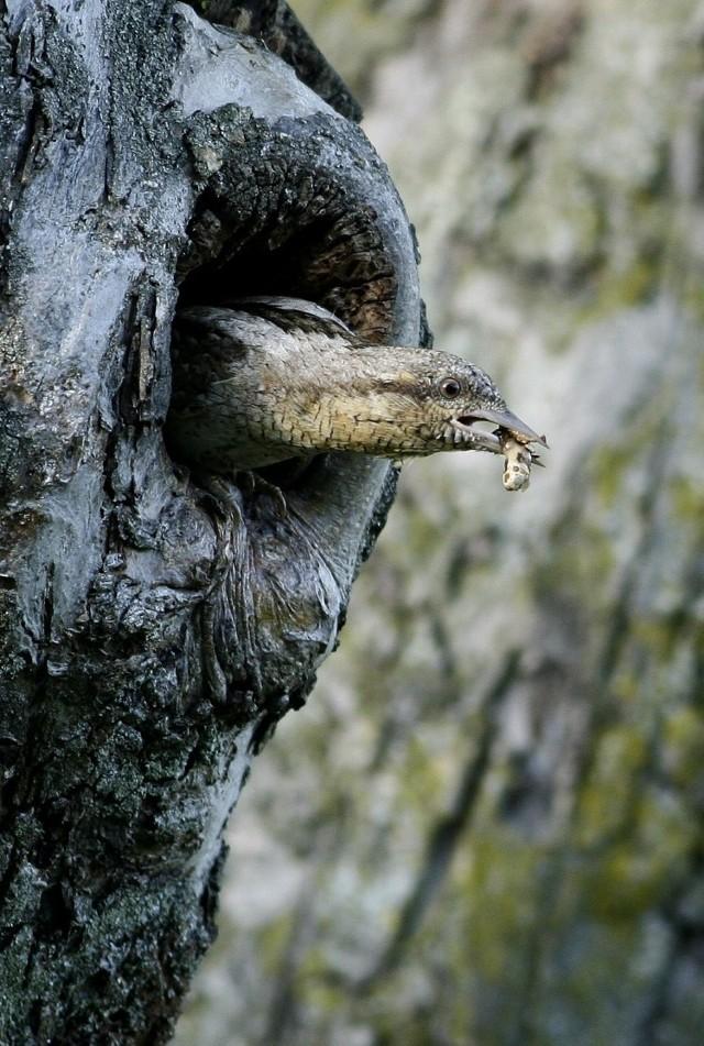 Młode mazurki zrobiły to już wcześniej i teraz latają po podwórku dokarmiane  - dziób w dziób przez dorosłe ptaki – opowiada Piotr Tałałaj.