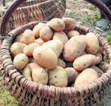 Zbiory ziemniaków, zwłaszcza wczesnych,  nie były w tym roku najlepsze