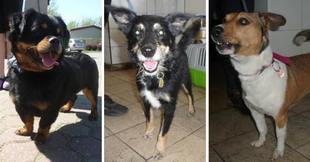 Kolejny miesiąc i kolejne psy, które trafiły do Schroniska dla Zwierząt w Toruniu. Praktycznie codziennie do placówki trafia jakieś zwierzę. Część z nich przyprowadzają właściciele, którzy z różnych powodów nie chcą już psa u siebie w domu. Część zostaje znaleziona. Wszystkie czekają na nowy dom. osoby, które chcą posiadać zwierzę powinny rozważyć adopcje psa ze schroniska. Oto lista psów, które trafiły do toruńskiej placówki w maju. Czytaj dalej. Przesuwaj zdjęcia w prawo - naciśnij strzałkę lub przycisk NASTĘPNE
