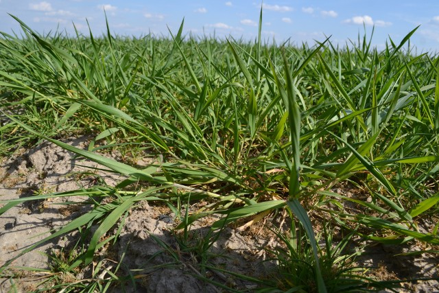 Prof. Marek Korbas: Takie gatunki, jak: pszenica, jęczmień, pszenżyto i żyto oraz rzepak ozimy nie są obecnie zagrożone w związku z wycofywaniem przez Komisję Europejską substancji czynnych – są to gatunki uprawiane najpowszechniej i na największych areałach. Gorzej sytuacja przedstawia się w uprawach, które zajmują mniejszy obszar powierzchni zasiewów. Dobrym przykładem jest tu owies.
