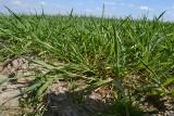 Rośnie problem zwalczania chorób grzybowych w uprawach. Powodem wycofywane substancje fungicydów