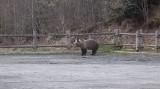 Leśniczy z Baligrodu nagrał niedźwiedzia buszującego po parkingu i apeuje: Turyści, nie zostawiajcie śmieci, to przyciąga dzikie zwierzęta