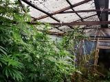 Gmina Narew. Policjanci zlikwidowali plantację konopi i przejęli ponad kilogram marihuany. 21-latek z zarzutami (foto, wideo)