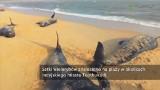 Wieloryby wypłynęły na plażę w Indiach. Wiele zginęło [WIDEO]