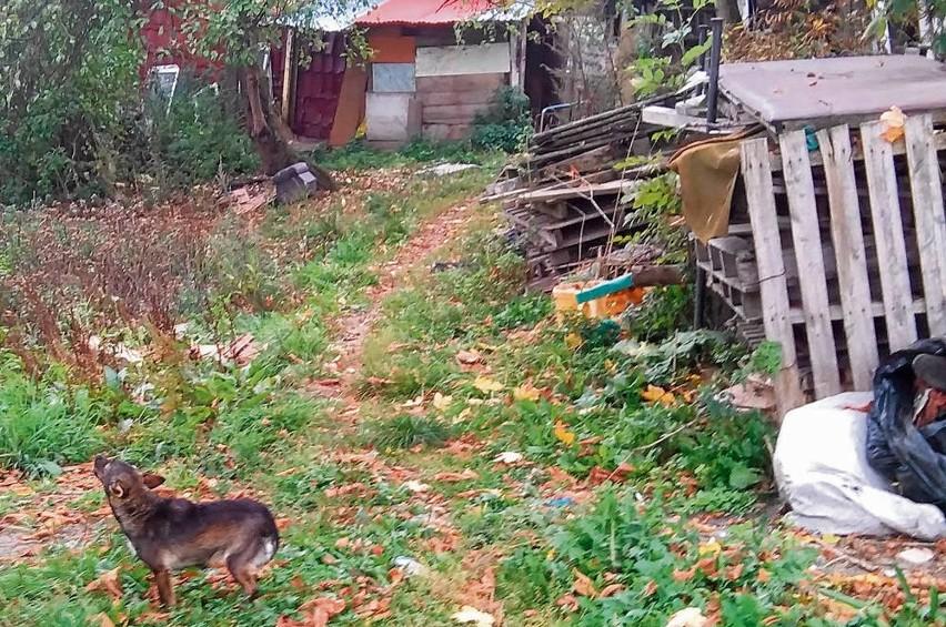 Psy mieszkają na jednej z posesji przy ul. Batorego