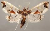 Ten motyl, to szkodnik! Może zagrażać ziemniakom, pomidorom, papryce