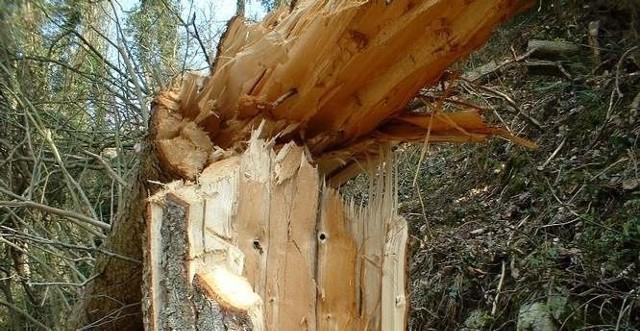 Najprawdopodobniej korzenie drzewa zostały naruszone przez silny wiatr.