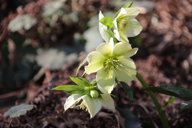 Ciemiernik białyCiemierniki są wieloletnie i niezbyt wymagające w uprawie. Mają ładne kwiaty, które mogą pojawiać się już zimą.