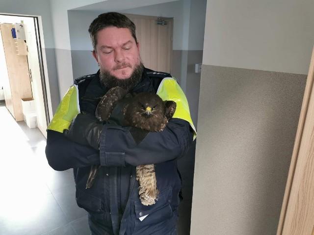 Nietypowa interwencja policji. Funkcjonariusze pomogli rannemu myszołowowi.