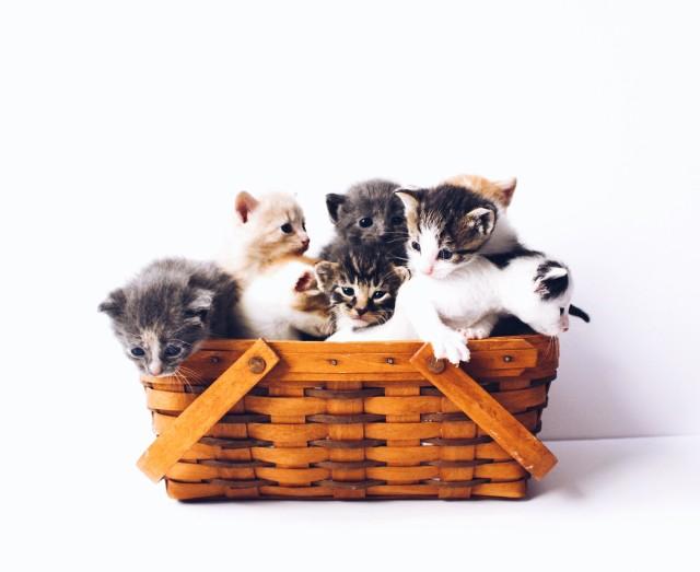 Najdroższe rasy kotów. Kto by pomyślał, że za kota można zapłacić nawet kilkaset tysięcy złotych?! [ZDJĘCIA]
