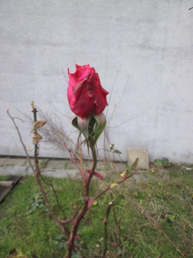 Na podwórku przy ul. Palacza zakwitła róża