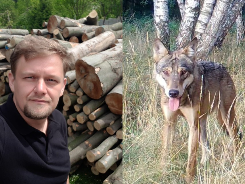 -15 lat temu wilki zasiedliły rozległy kompleks leśny Lasów...