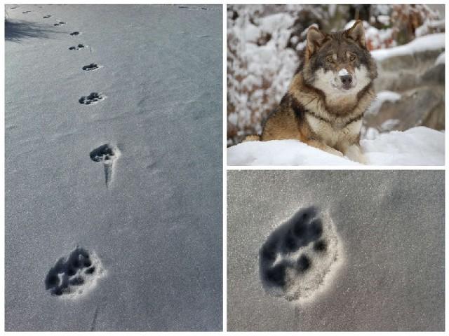 Ślady na śniegu zrobił burmistrz Tomasz Jaskuła. Inne tropy wilka widział także jego znajomy - myśliwy.