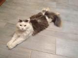 Ul. Pogodna: Zaginął kot syberyjski. Właściciele zwierzęcia oferują wysoką nagrodę za odnalezienie [ZDJĘCIA]