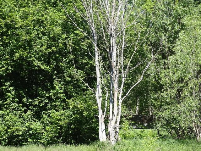 Młode drzewa nad brzegami Obry przy Białym mostku nagle uschły. Dlaczego?