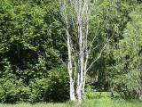 Drzewa umierają nad Obrą w Międzyrzeczu! Co jest powodem?