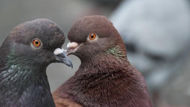 Z reguły normalne używanie balkonu wystarcza, by zniechęcić gołębie do założenia tam gniazda.Przejdź dalej --->