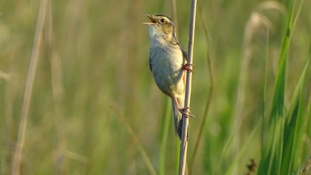 """""""Flagowym"""" gatunkiem Polesia jest wodniczka, niewielki ptak wędrowny zagrożony w skali globalnej. Na świecie występuje tylko 20 tys. osobników, z czego 4% z nich na Bagnie Bubnów, w granicach koncesji poszukiwawczej uzyskanej przez Balamarę"""