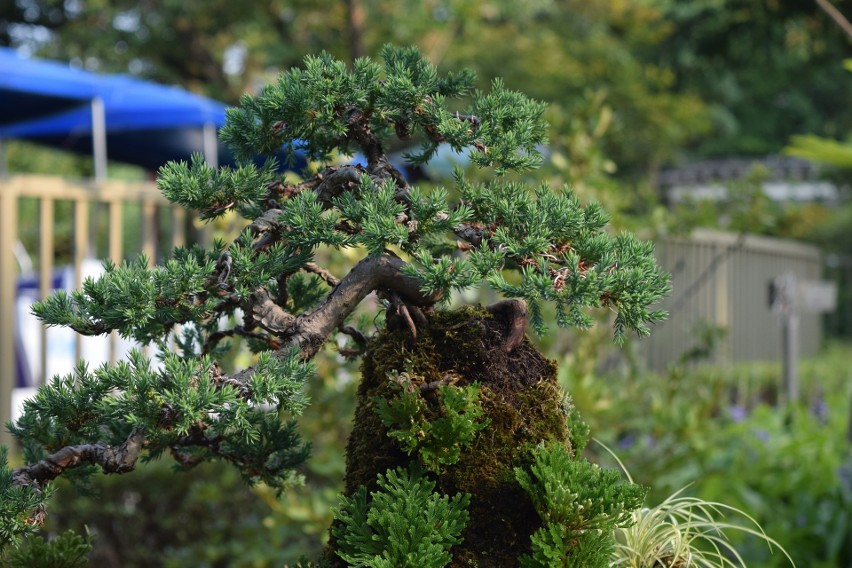 Sosna formowana Bonsai - cena: 5 900 zł...
