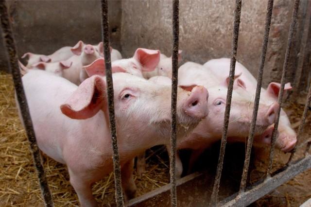 Sprawa hodowcy świń z powiatu sępoleńskiego trafiła do prokuratury. KPP w Sępólnie prowadzi czynności wyjaśniające