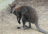 Kangur nadal poszukiwany [WIDEO]