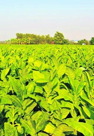 W Polsce przy uprawie tytoniu pracuje około 50 tys. osób.