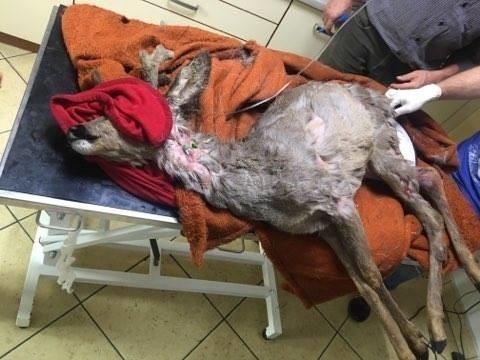 W takim stanie był kozioł po ataku psów.