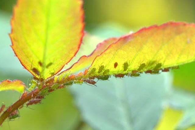 Mszyce i przędziorki mogą bardzo osłabić rośliny. Warto je zwalczać, najlepiej stosując ekologiczne metody.