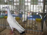 Wystawa gołębi rasowych i drobiu ozdobnego w Starachowicach