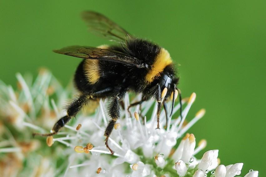 Kiedy żądli? Trzmiele z natury są owadami łagodniejszymi od...