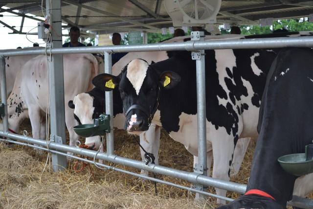 Zwiększa się opłacalność produkcji żywca wołowego. Główny Urząd Statystyczny wskazuje na zahamowanie spadkowej tendencji cen skupu