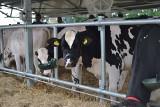 Można żyć nawet z dwudziestu krów mamek. Opłacalność hodowli bydła
