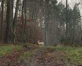 Sensacja. Biała łania daniela w słupsko-usteckich lasach (NOWE ZDJĘCIA, WIDEO)