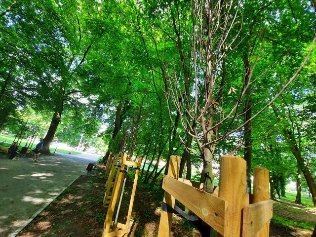 Usychają nowe drzewa, które posadzono w sąsiedztwie fontanny.