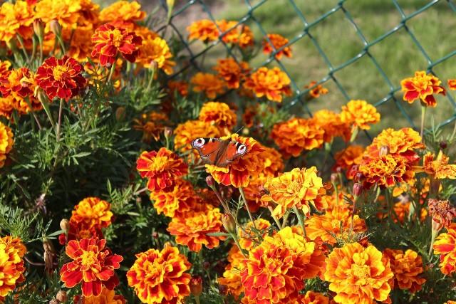 Aksamitki w ogródku Najpopularniejsza w naszych ogrodach jest aksamitka drobna, o żółtych lub pomarańczowych kwiatach. Ten kwiat świetnie nadaje się na obwódki lub rabaty.
