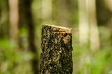 Śmiertelny wypadek podczas wycinki drzew pod Brzozowem. Nie żyje 55-latek