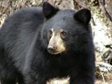 USA: Rodzina uratowała niedźwiedzia, którego głowa nadziała się na plastikowy pojemnik (VIDEO)
