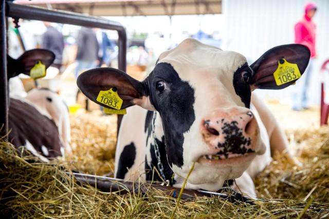 W maju polscy rolnicy otrzymywali za hektolitr mleka średnio 134,64 zł