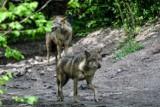 Dwa wilki zaatakowały psa w Kozich Laskach pod Nowym Tomyślem. Sołtys apeluje do mieszkańców o pilnowanie swoich zwierząt