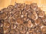 Zagrożony gatunek nietoperza założył nową kolonię w budynku mieszkalnym. Stwarza problemy mieszkańcom. OTON interweniuje