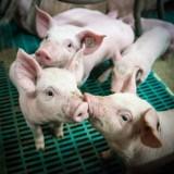 Fermy do likwidacji? Nie świnie i drób są zagrożeniem dla klimatu, ale auta i sektor energetyczny [opinia]