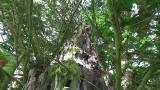 Dolny Śląsk: Ratują najstarsze drzewo w Polsce [ZOBACZ]