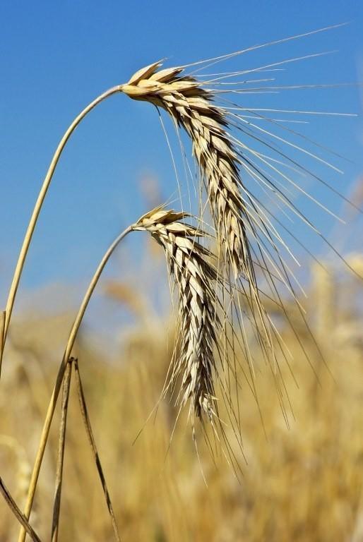 Polsce grozi susza rolnicza. Narażone są zboża i rośliny strączkowe