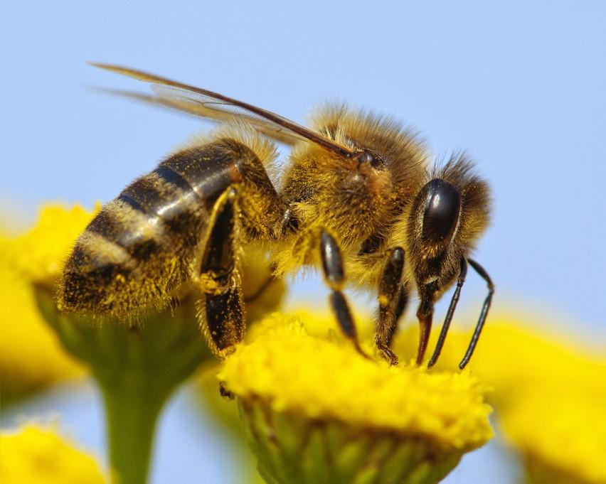 Kiedy żądli? Pszczoły z natury są owadami łagodnymi i...
